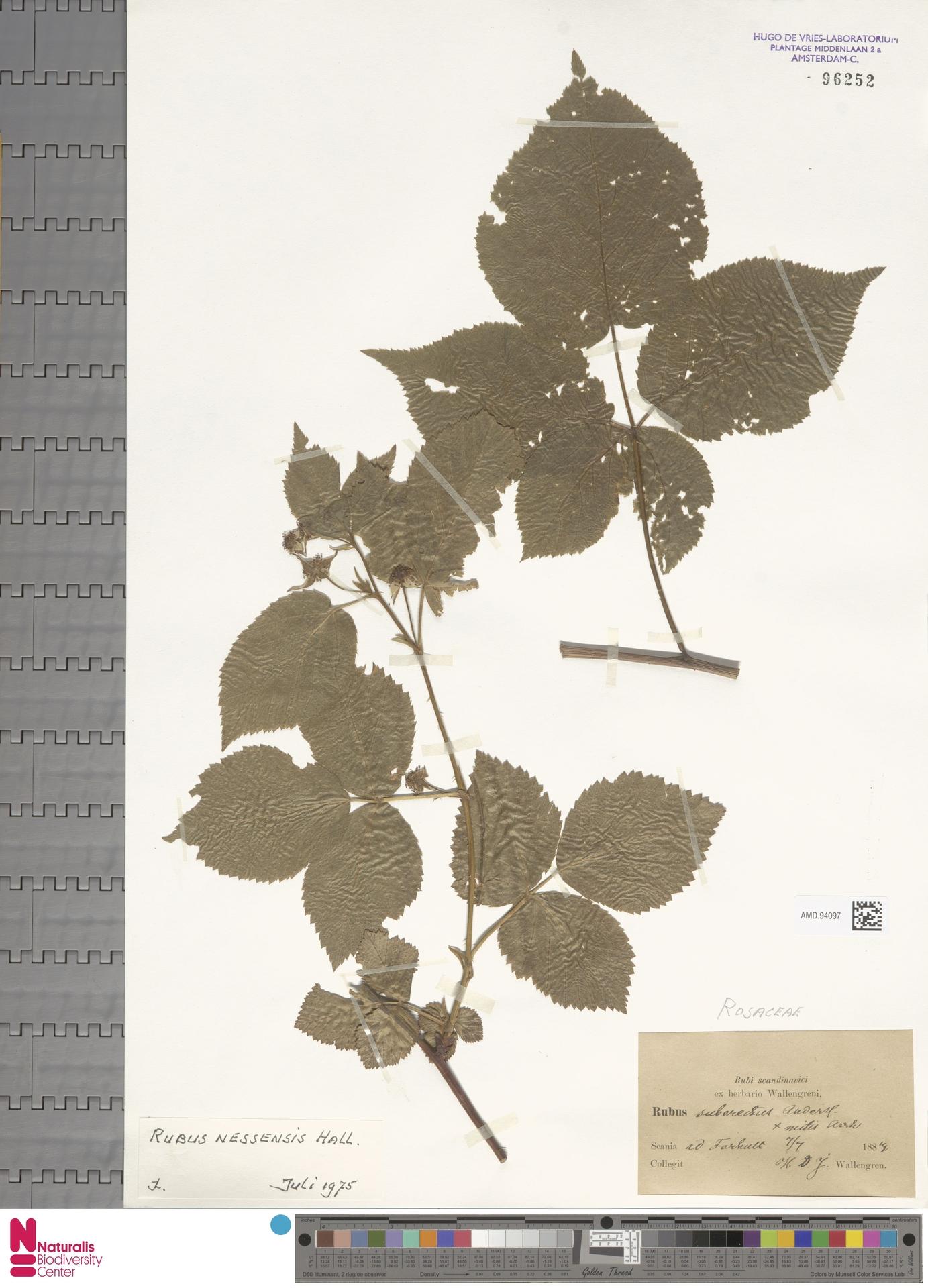 AMD.94097 | Rubus nessensis Hall