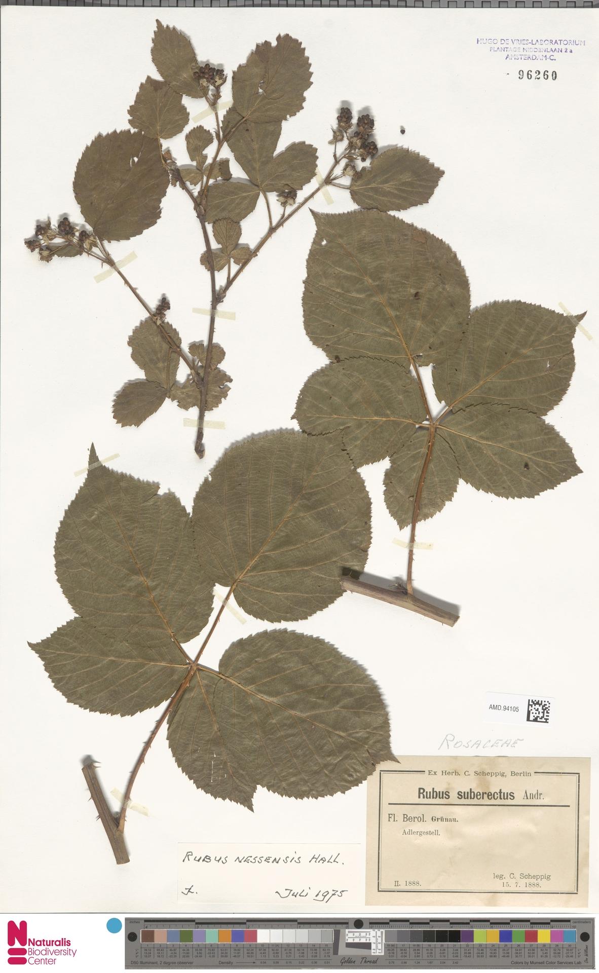 AMD.94105 | Rubus nessensis Hall