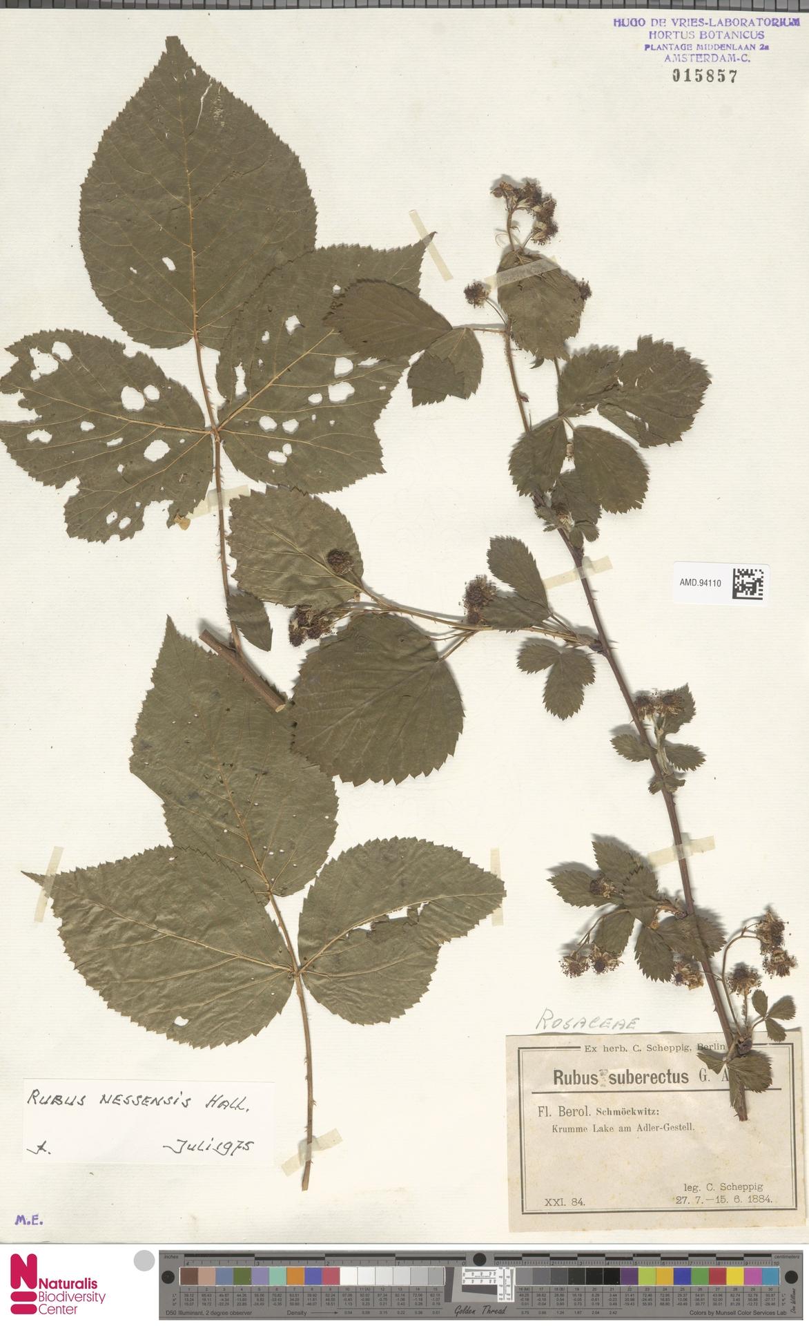 AMD.94110 | Rubus nessensis Hall