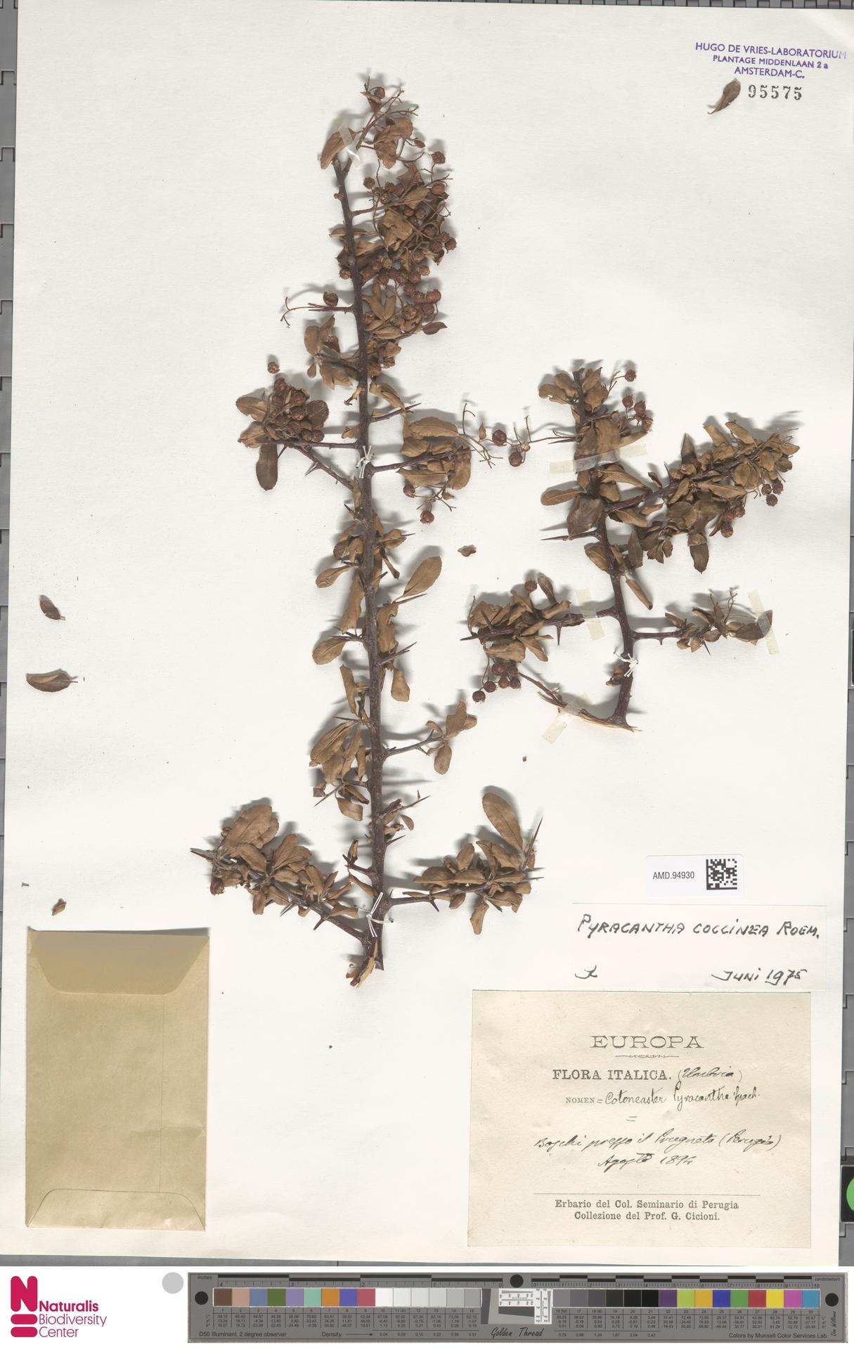 AMD.94930 | Pyracantha coccinea M.Roem.