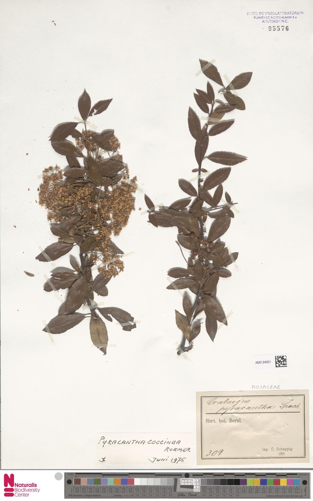 AMD.94931 | Pyracantha coccinea M.Roem.