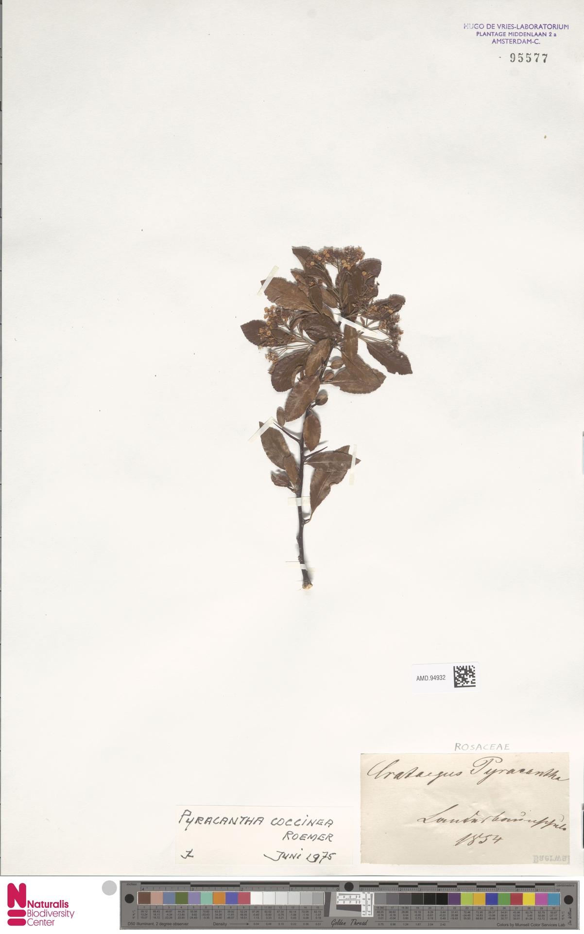 AMD.94932 | Pyracantha coccinea M.Roem.