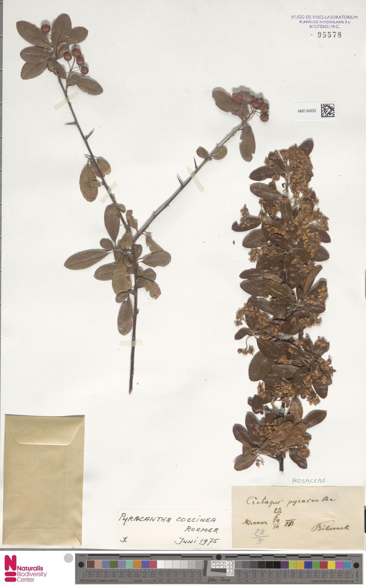 AMD.94933 | Pyracantha coccinea M.Roem.