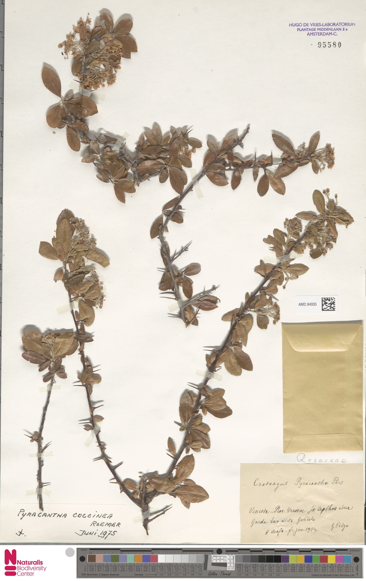 AMD.94935 | Pyracantha coccinea M.Roem.