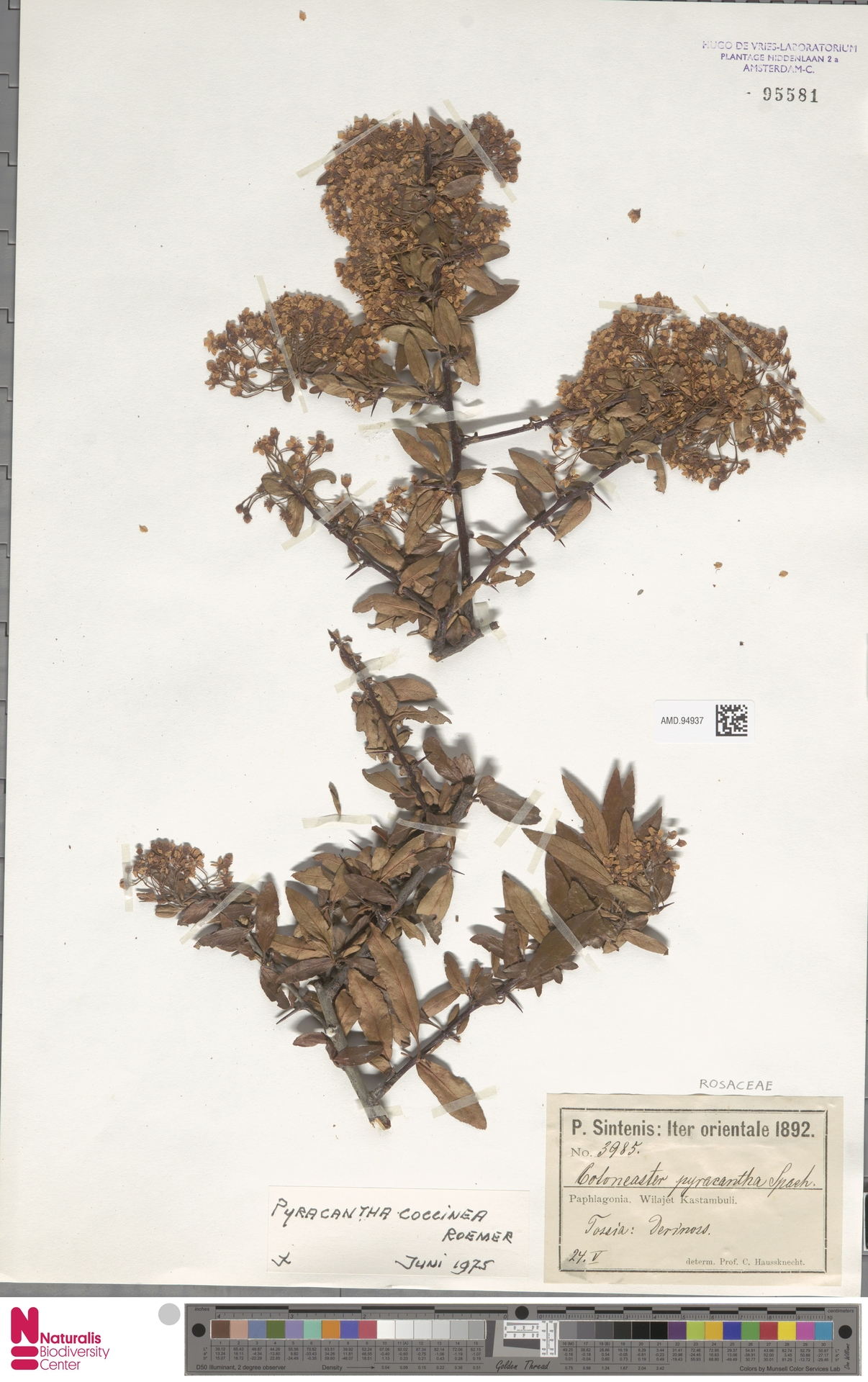 AMD.94937 | Pyracantha coccinea M.Roem.