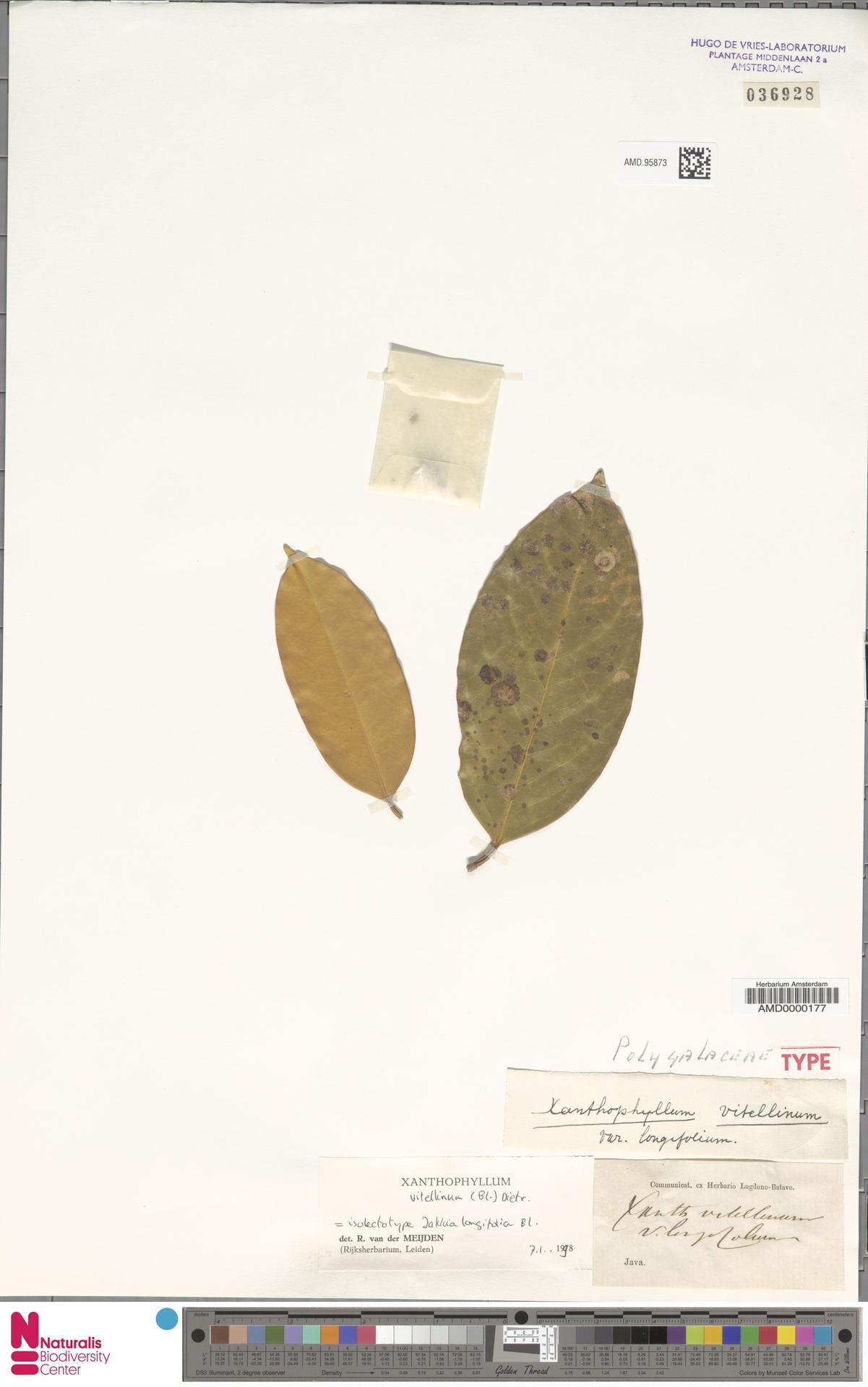 AMD.95873 | Xanthophyllum vitellinum (Blume) D.Dietr.