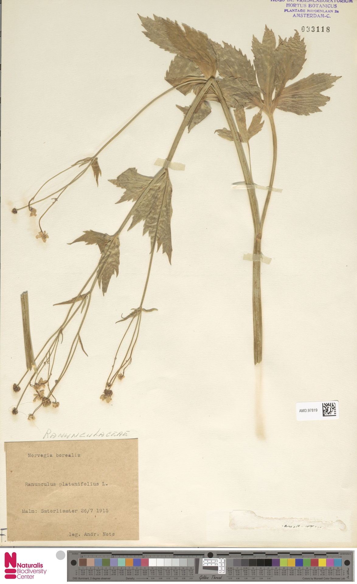 AMD.97819 | Ranunculus platanifolius L.