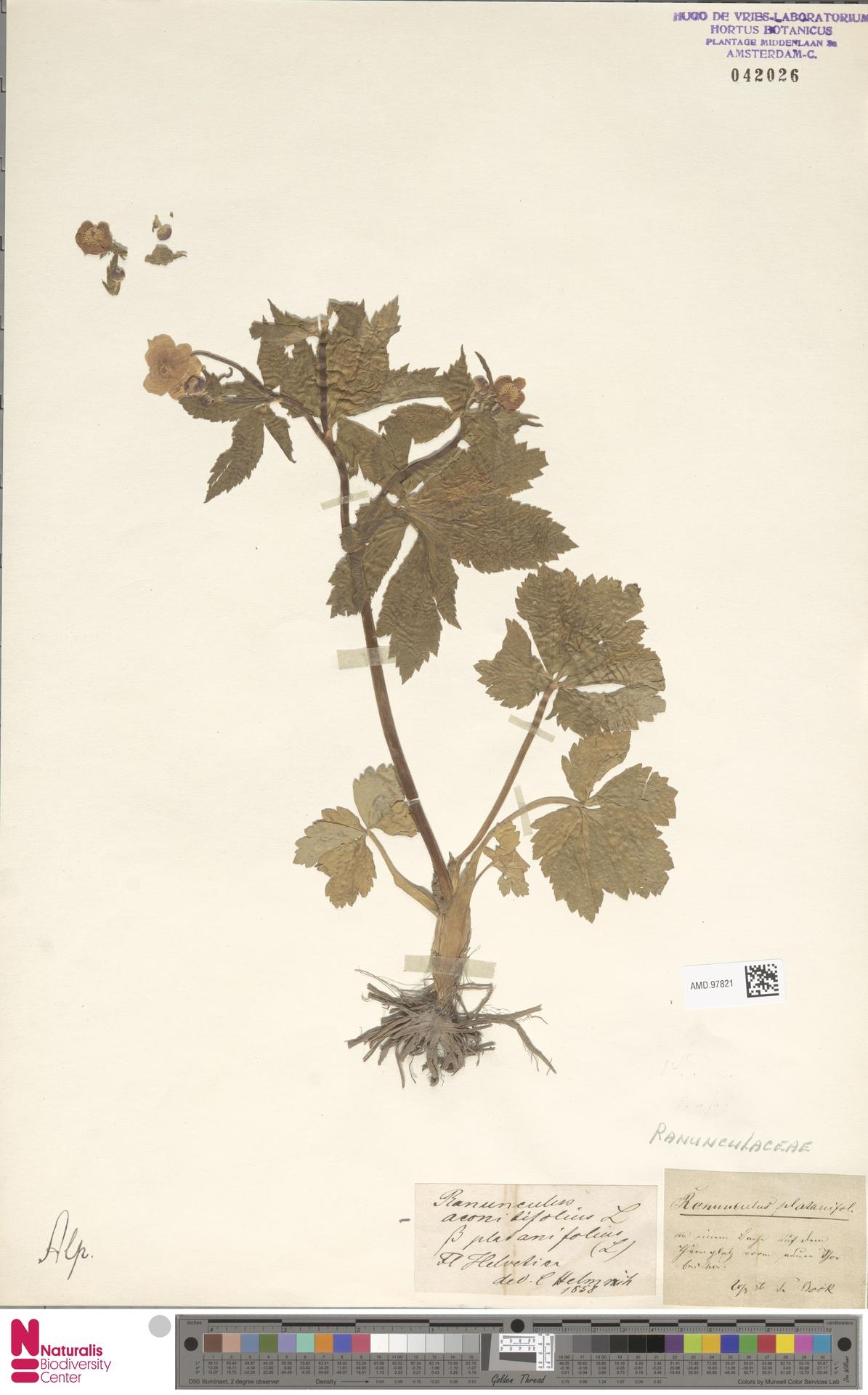 AMD.97821   Ranunculus platanifolius L.