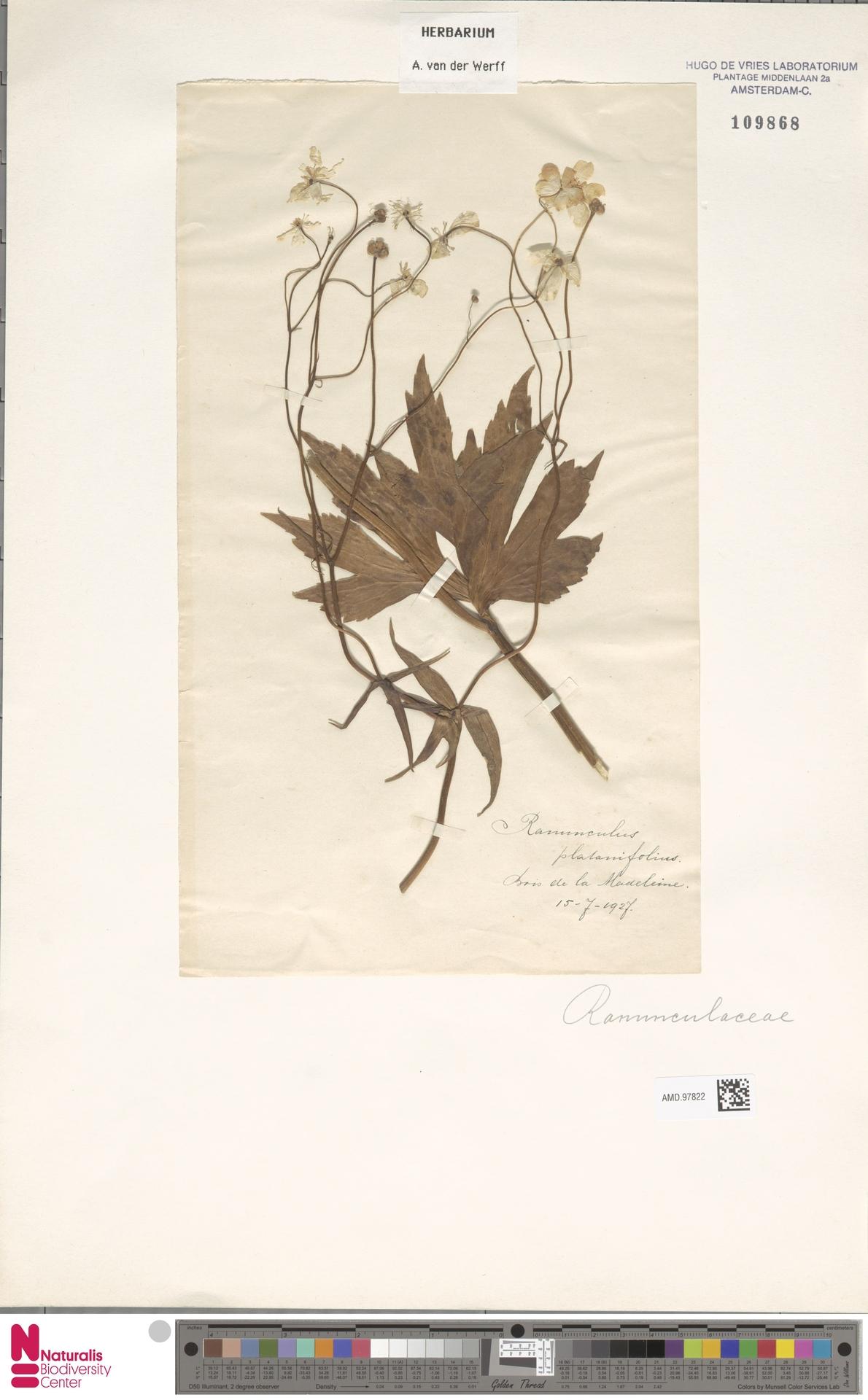 AMD.97822   Ranunculus platanifolius L.
