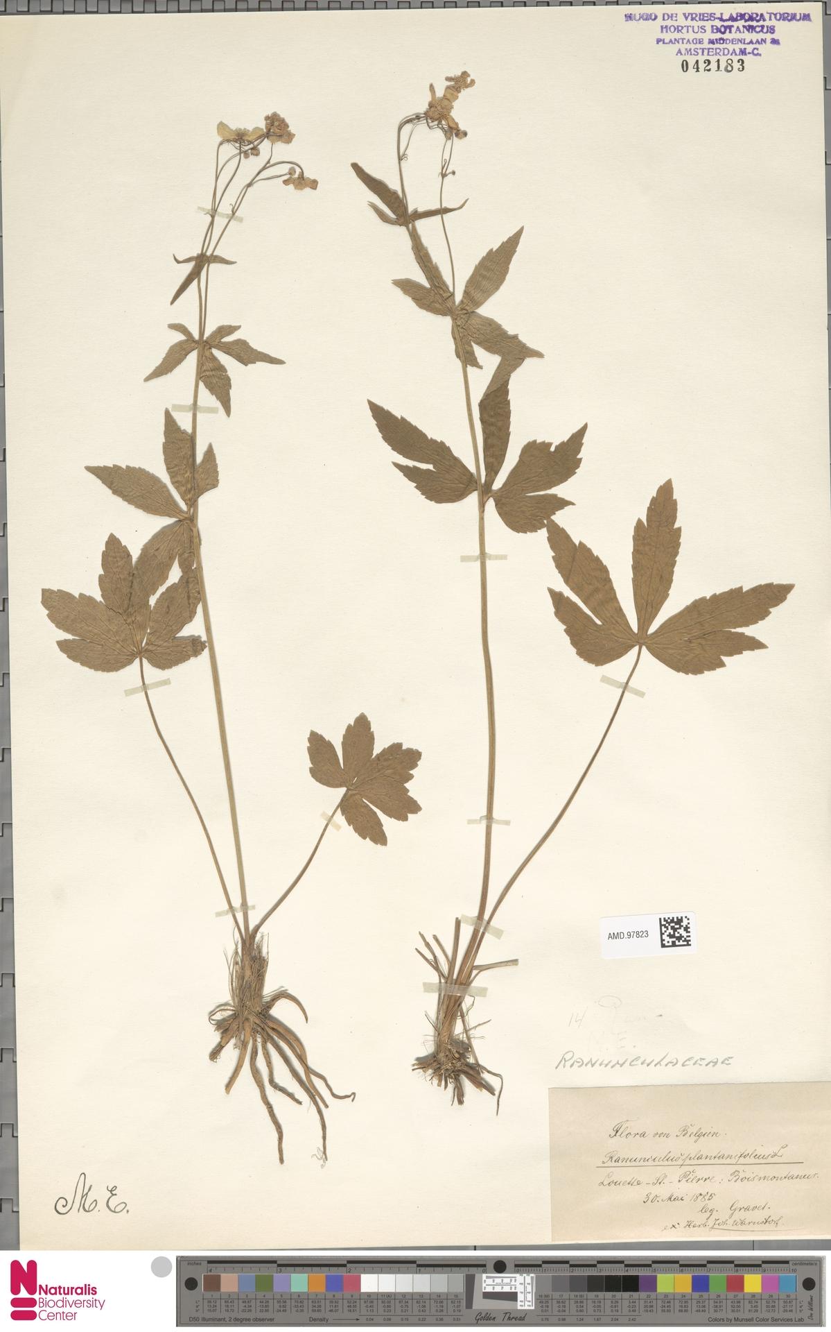 AMD.97823   Ranunculus platanifolius L.