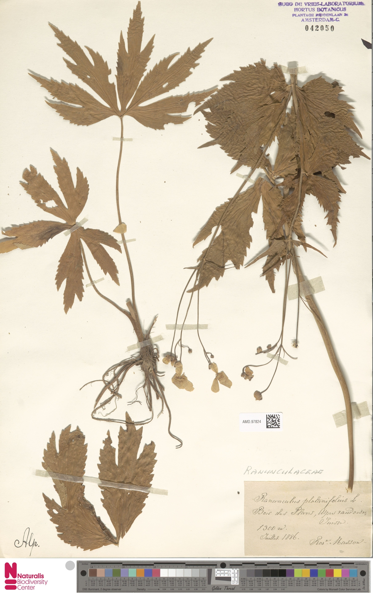 AMD.97824 | Ranunculus platanifolius L.