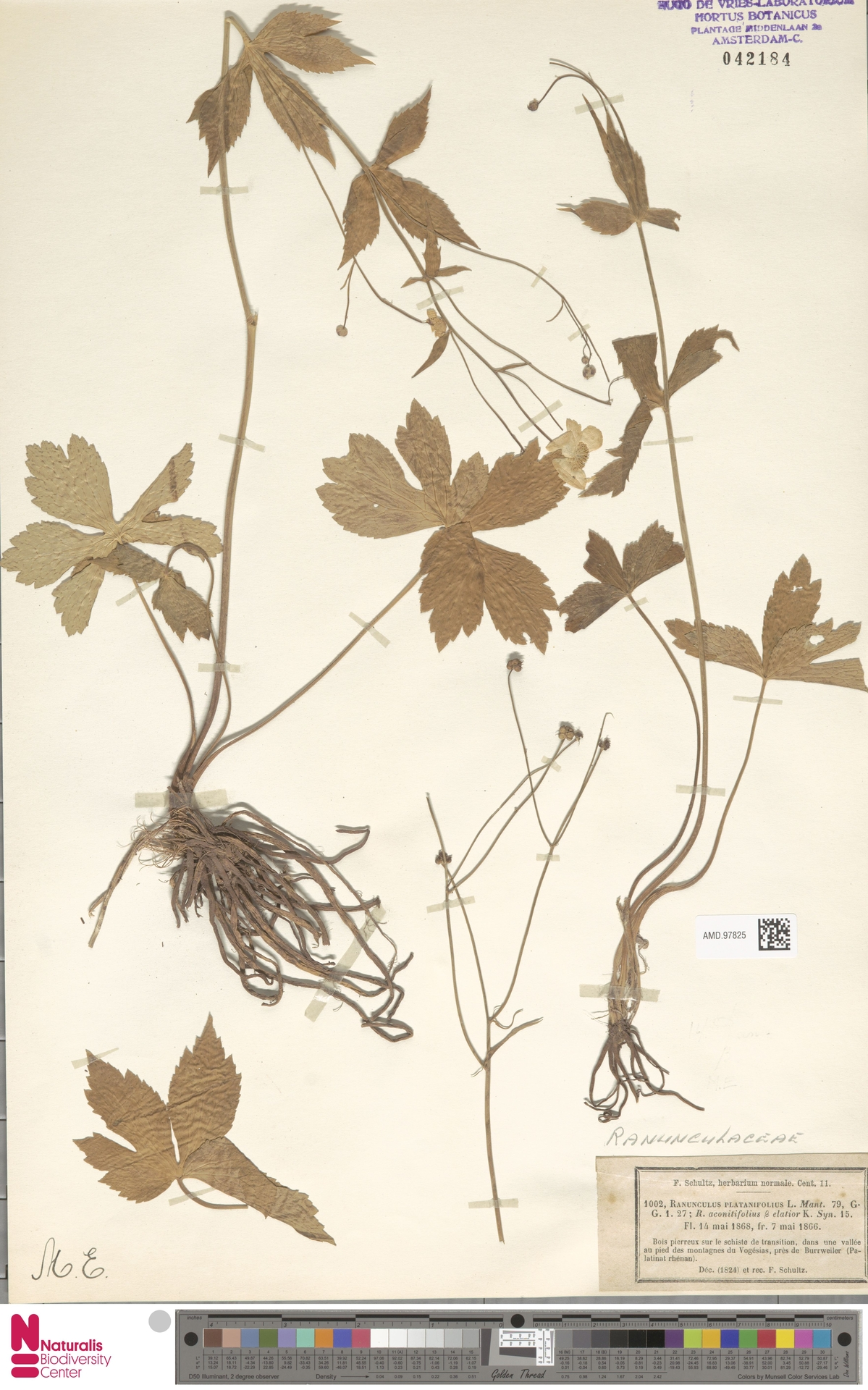 AMD.97825   Ranunculus platanifolius L.