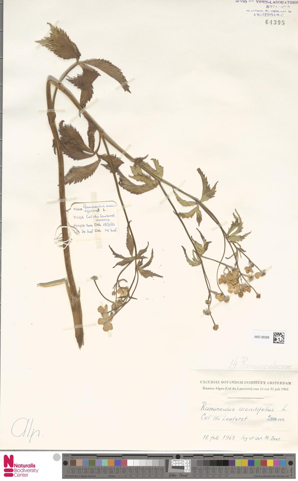 AMD.99388 | Ranunculus aconitifolius L.