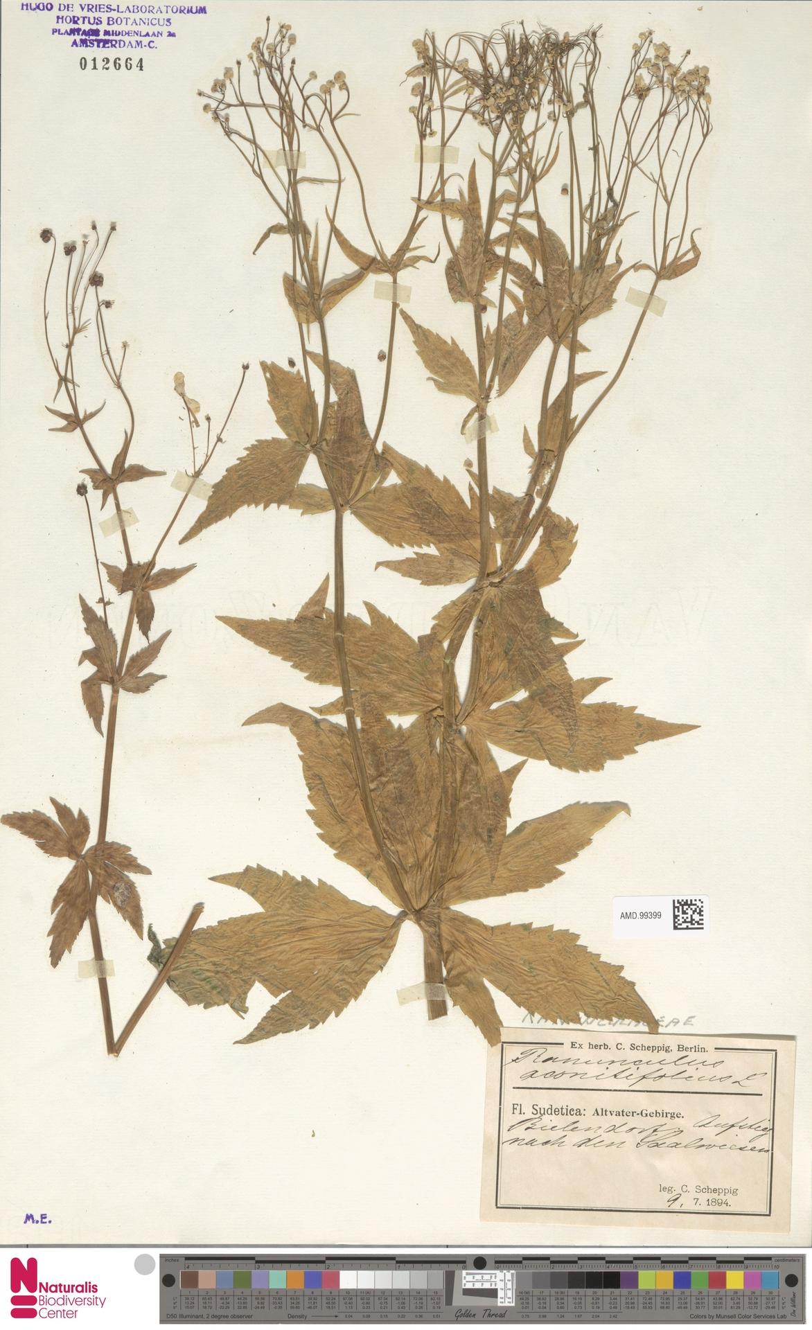 AMD.99399 | Ranunculus aconitifolius L.