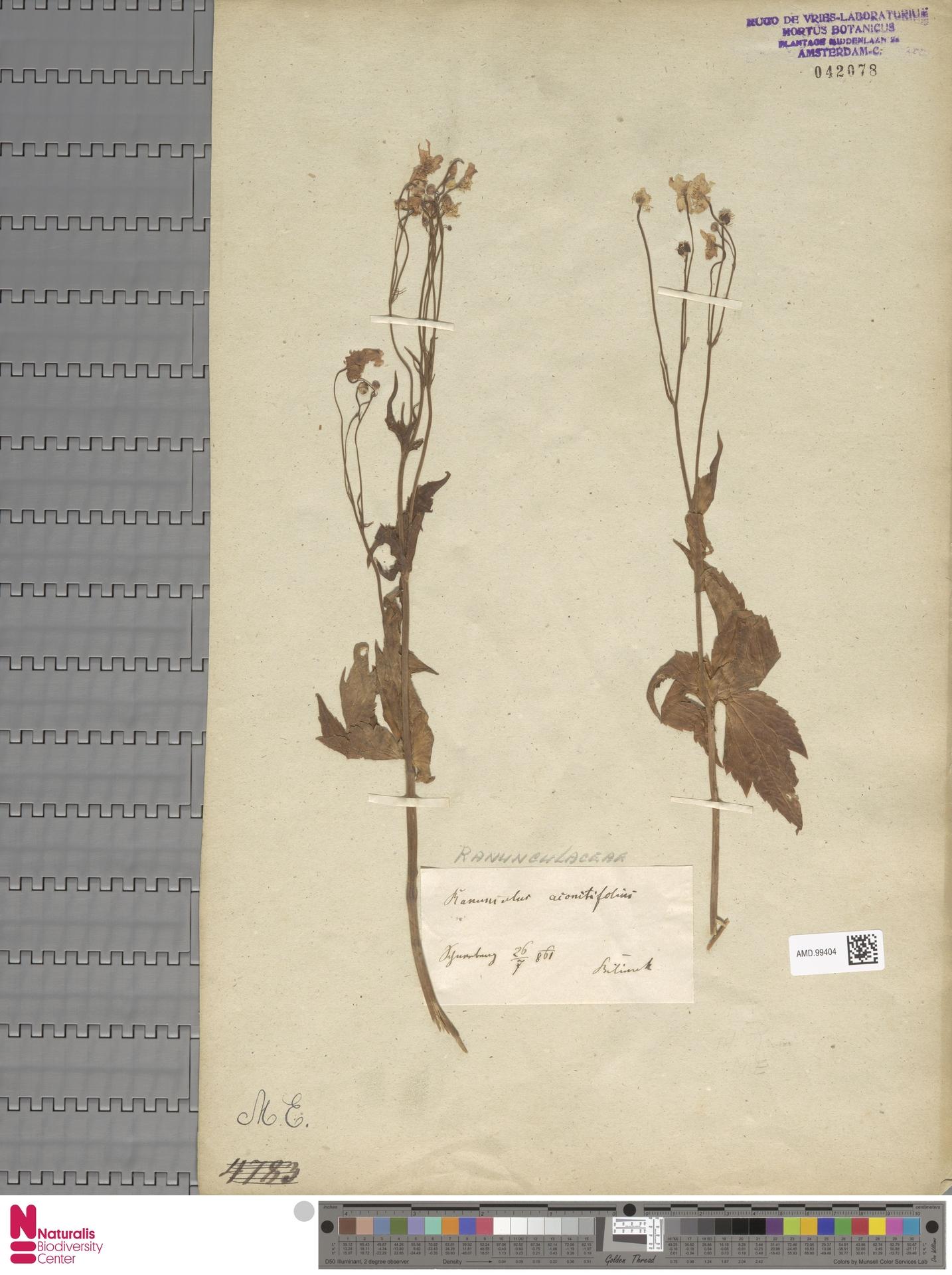 AMD.99404 | Ranunculus aconitifolius L.