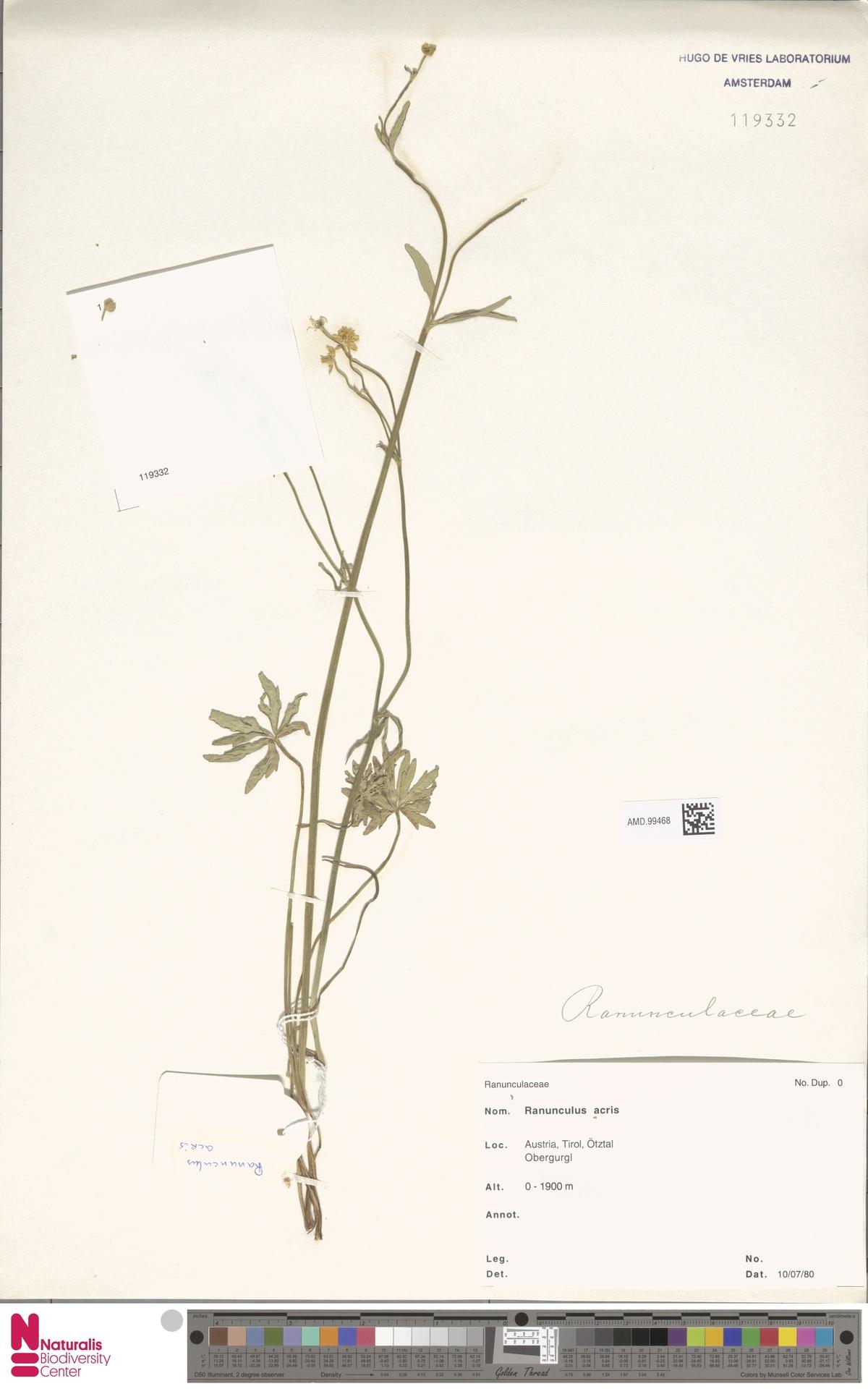 AMD.99468   Ranunculus acris L.