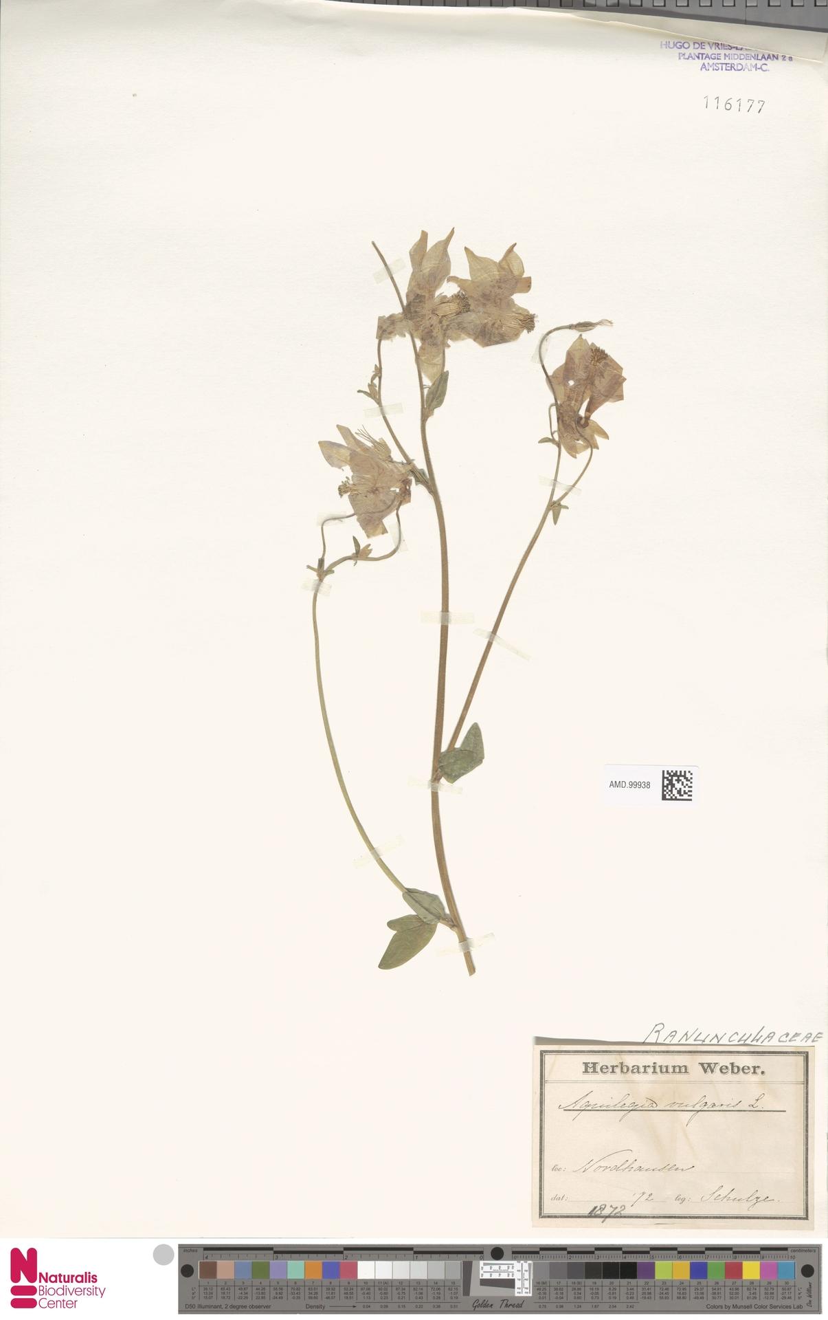 AMD.99938 | Aquilegia vulgaris L.
