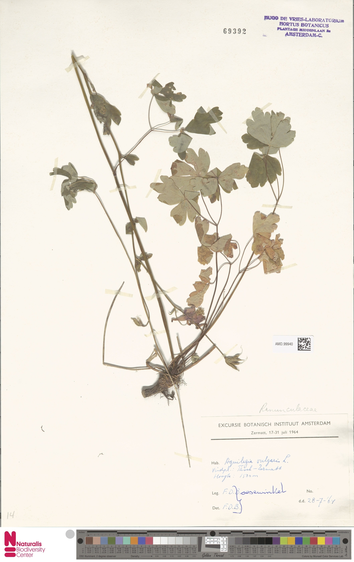 AMD.99940 | Aquilegia vulgaris L.