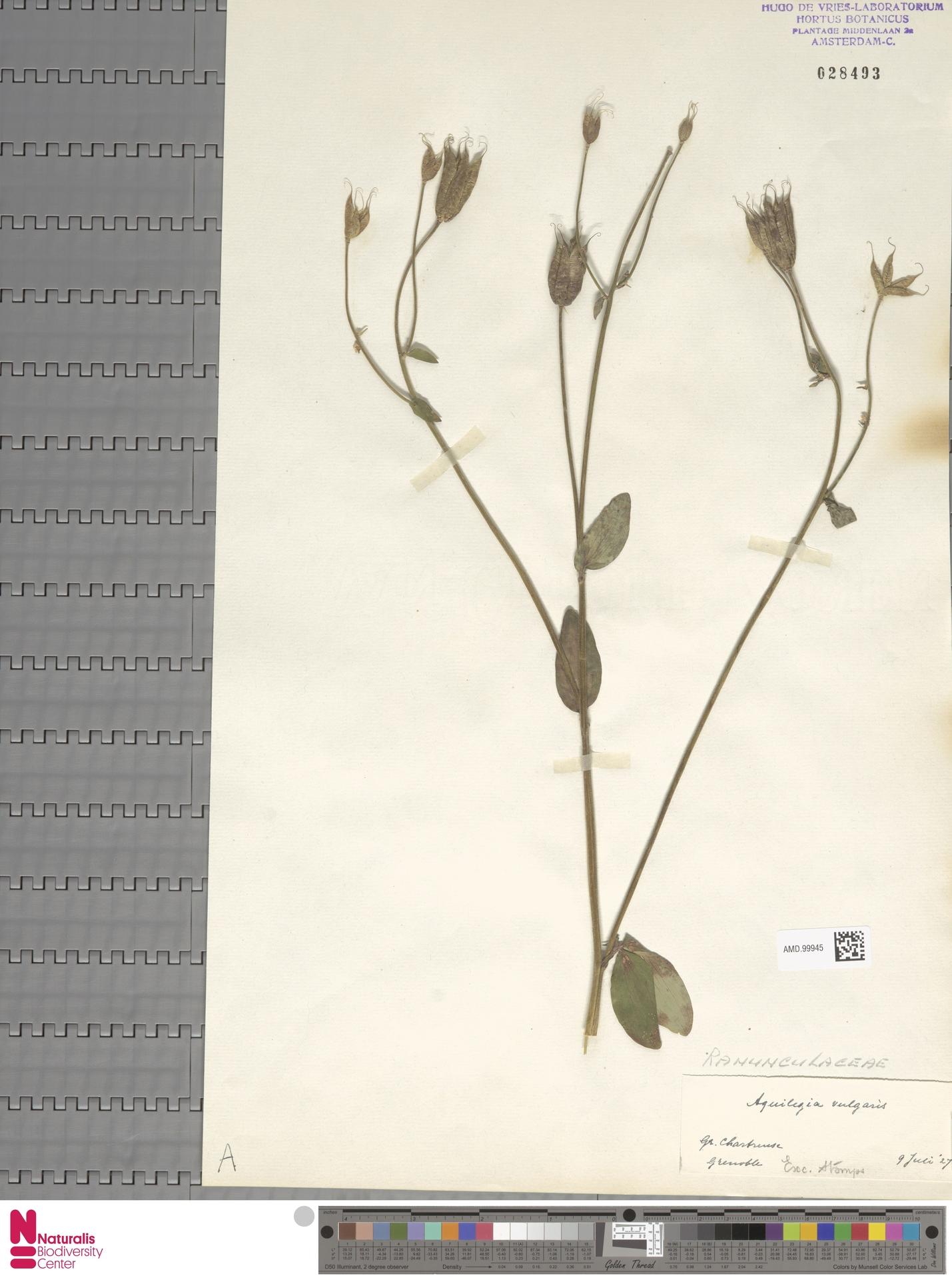 AMD.99945 | Aquilegia vulgaris L.