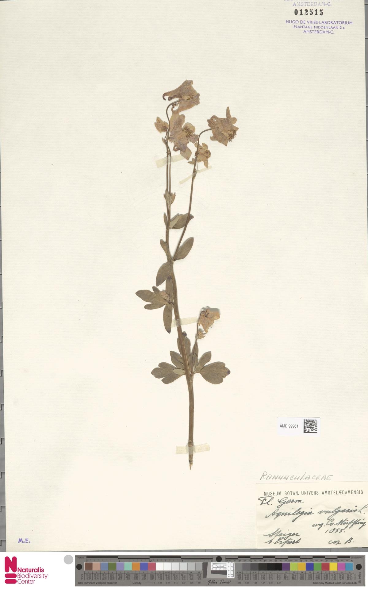 AMD.99961 | Aquilegia vulgaris L.