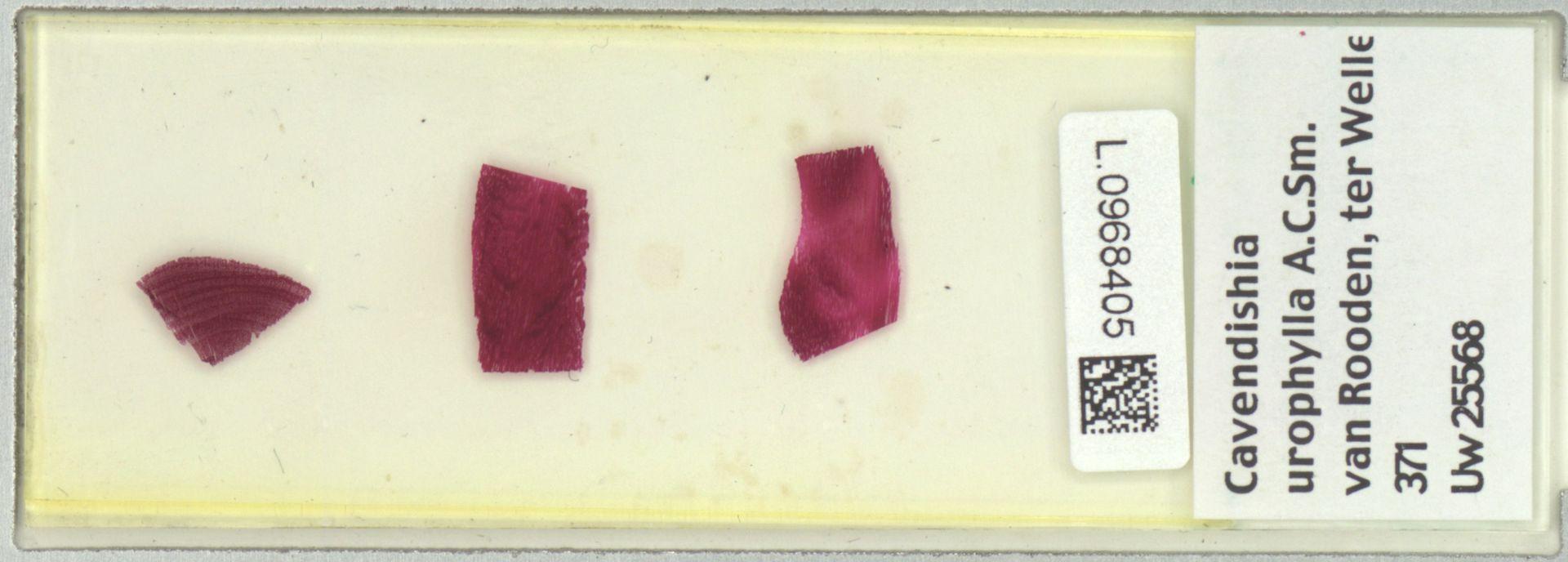 L.0968405 | Cavendishia urophylla A.C.Sm.