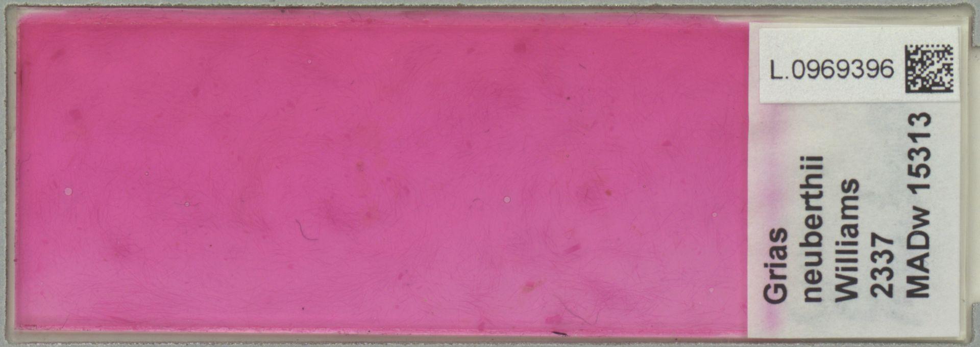 L.0969396 | Grias neuberthii J.F.Macbr.