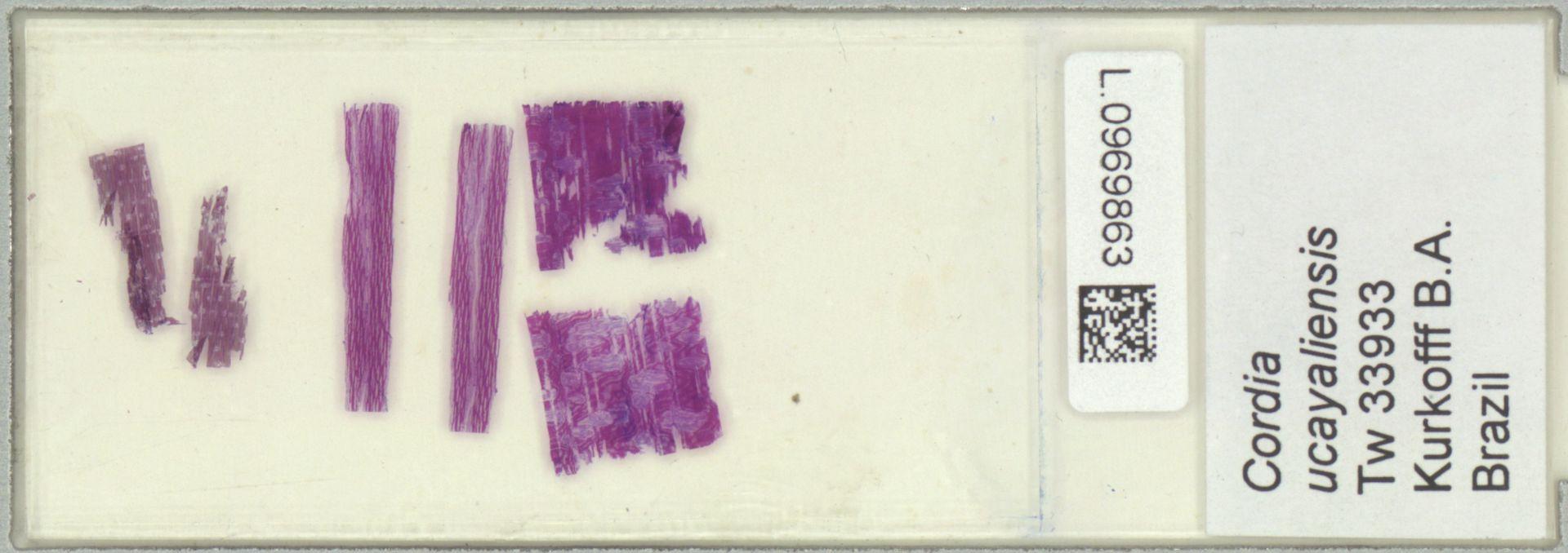 L.0969863 | Cordia ucayaliensis I.M.Johnst.