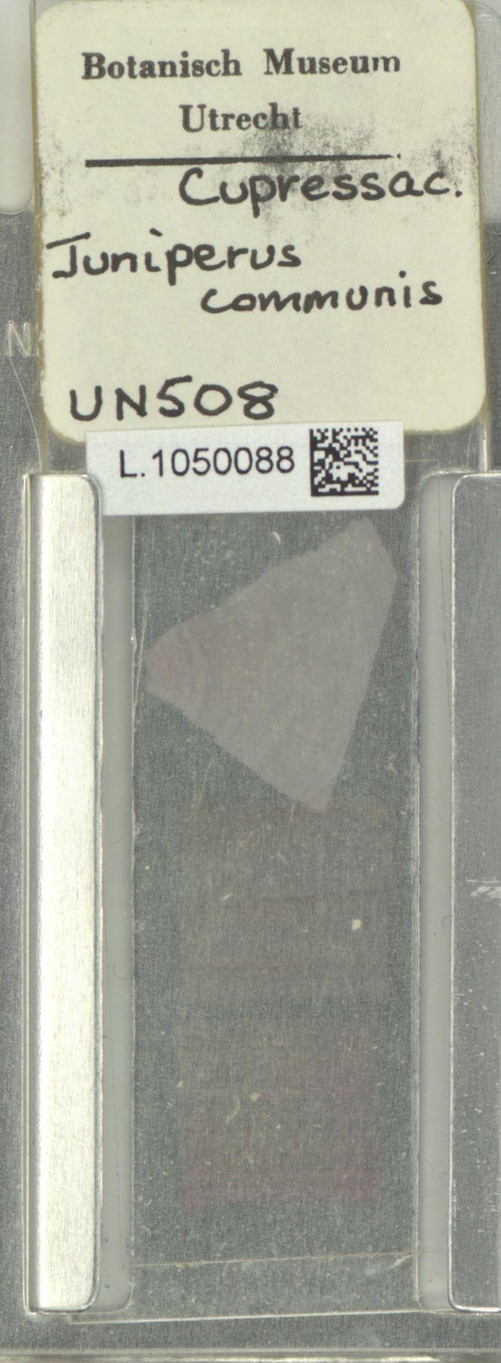 L.1050088   Juniperus communis L.