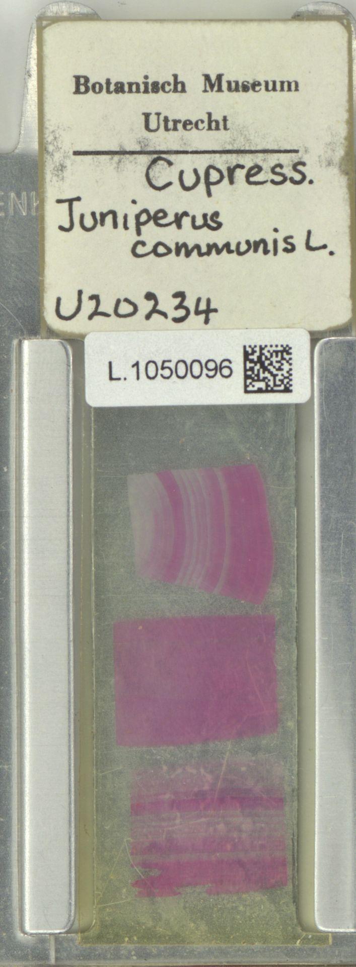 L.1050096 | Juniperus communis L.