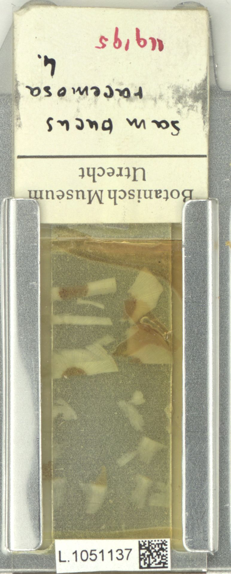 L.1051137   Sambucus racemosa L.