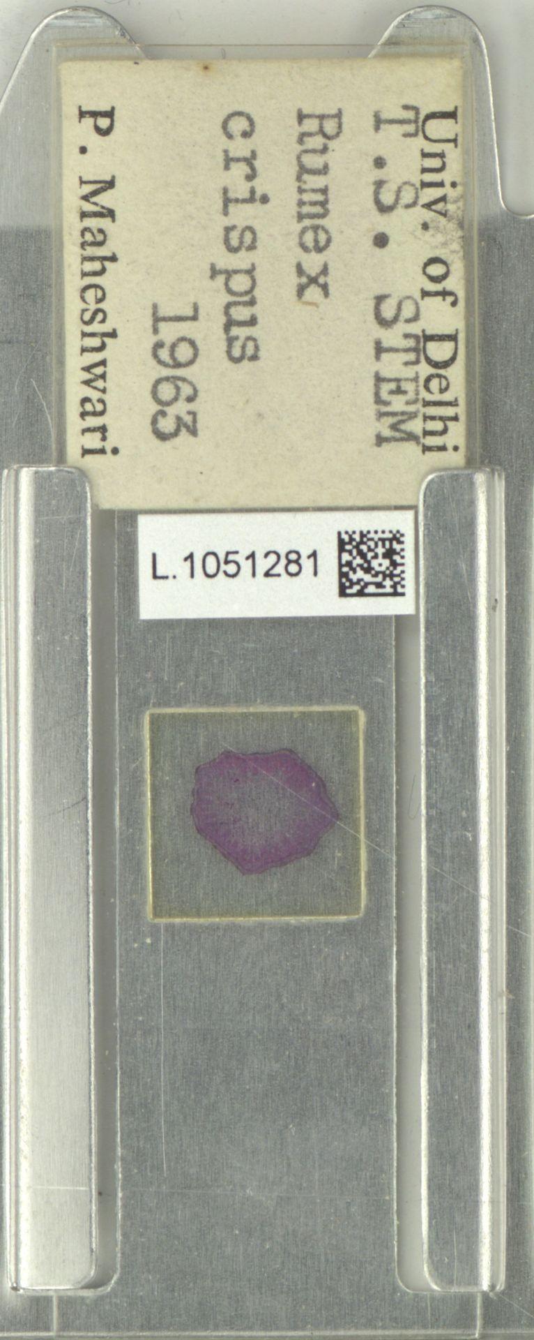 L.1051281 | Rumex crispus L.