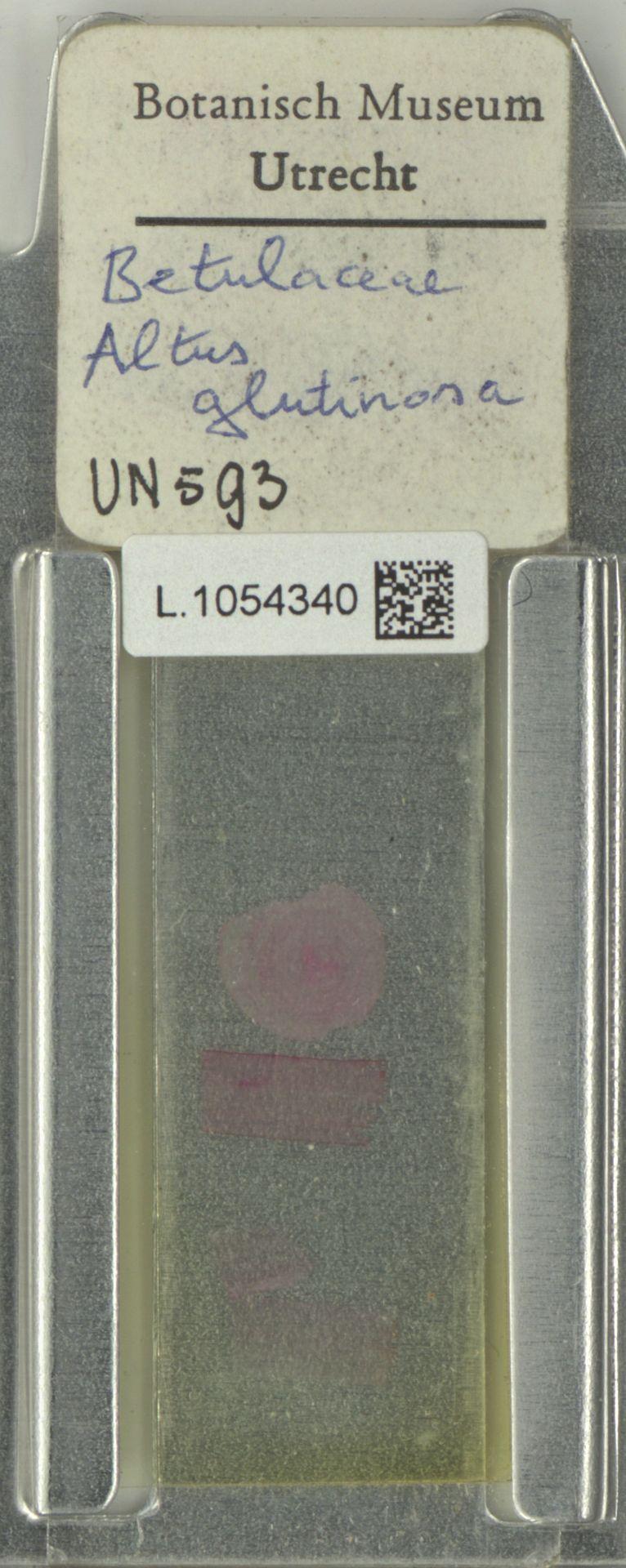 L.1054340 | Alnus glutinosa (L.) Gaertn.