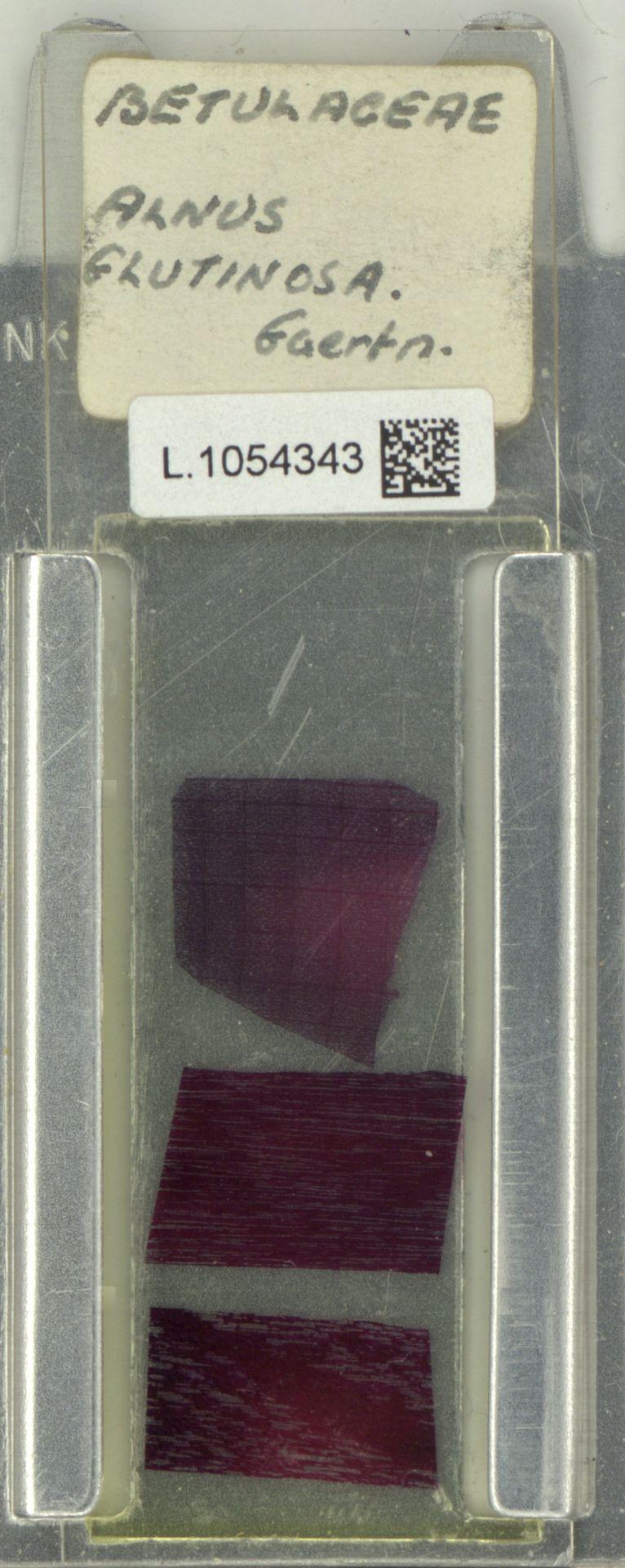 L.1054343 | Alnus glutinosa (L.) Gaertn.