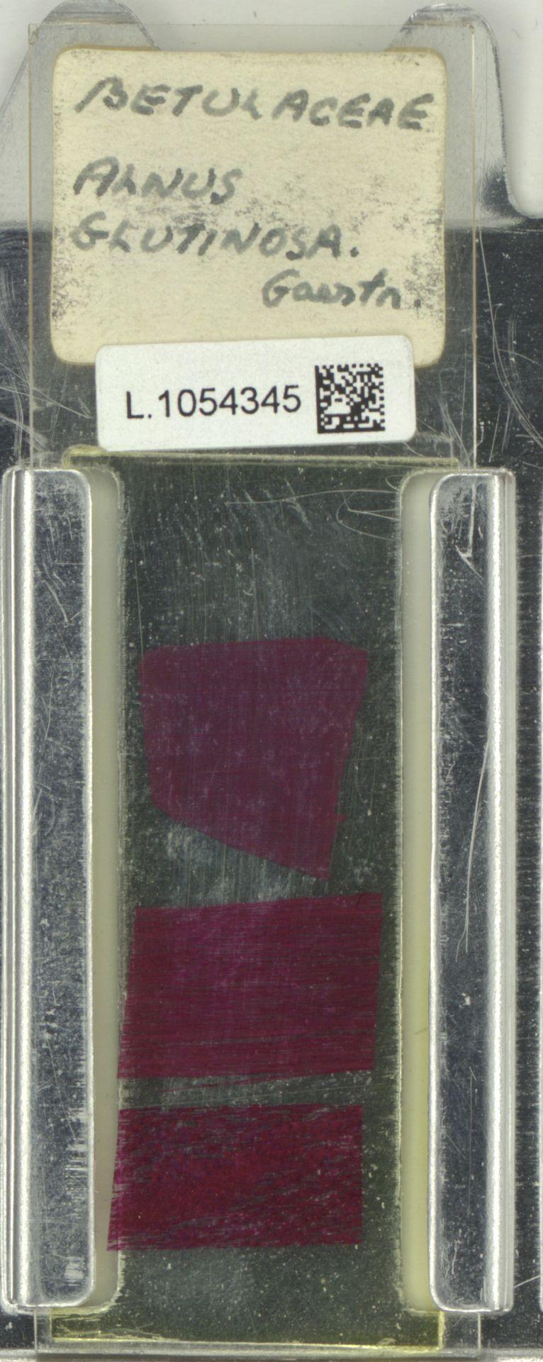 L.1054345 | Alnus glutinosa (L.) Gaertn.