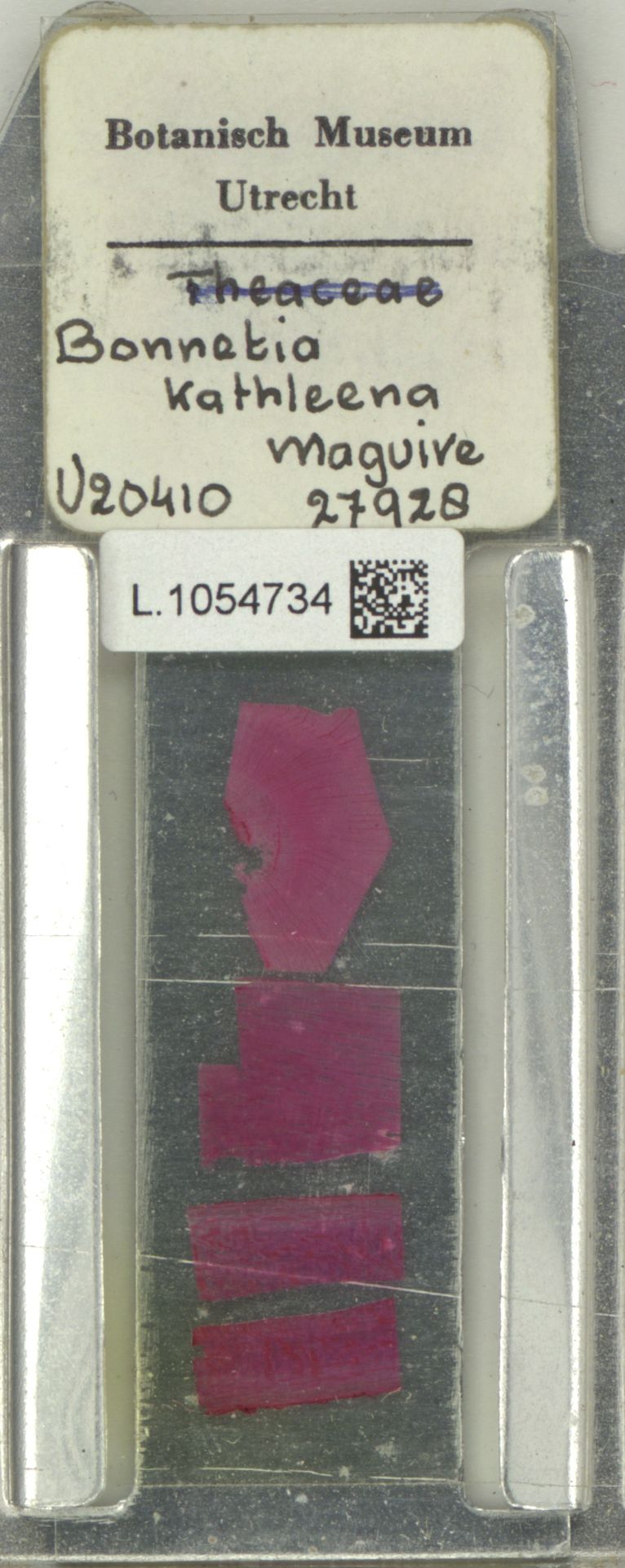 L.1054734 | Bonnetia kathleenae Lasser