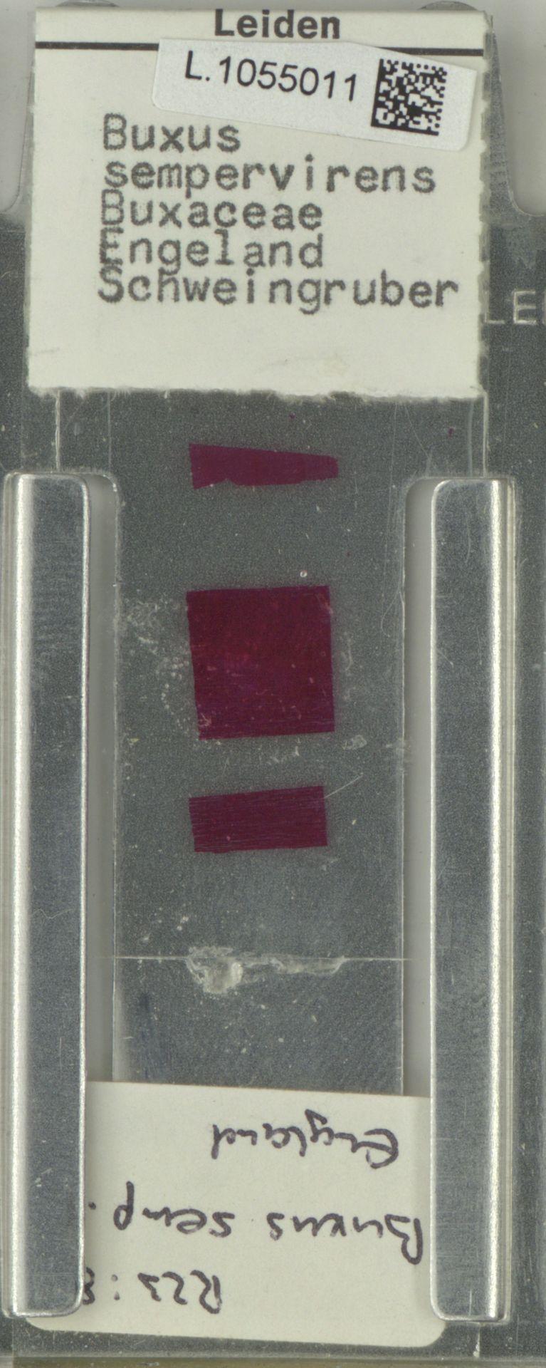 L.1055011 | Buxus sempervirens L.