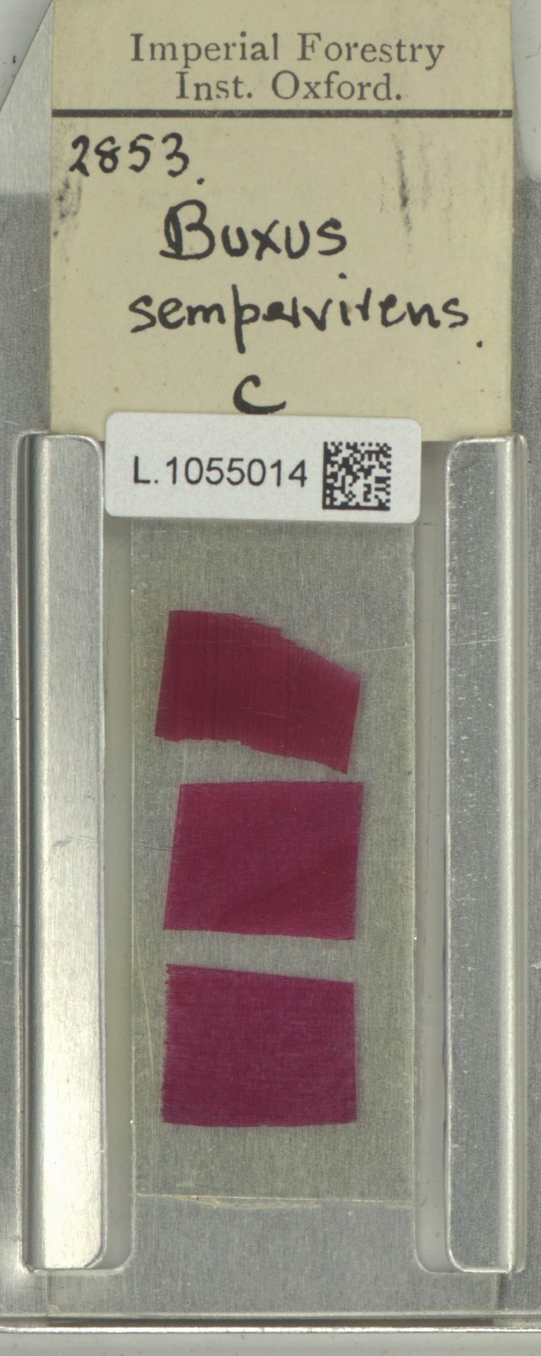 L.1055014 | Buxus sempervirens L.
