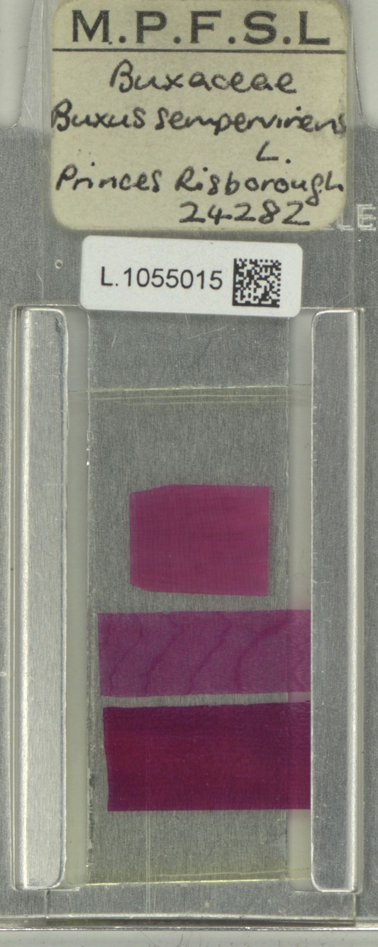 L.1055015 | Buxus sempervirens L.