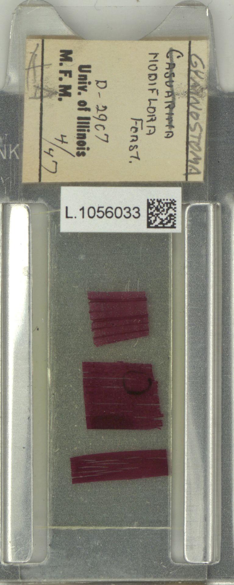 L.1056033 | Gymnostoma nodiflorum (Thunb.) L.A.S.Johnson