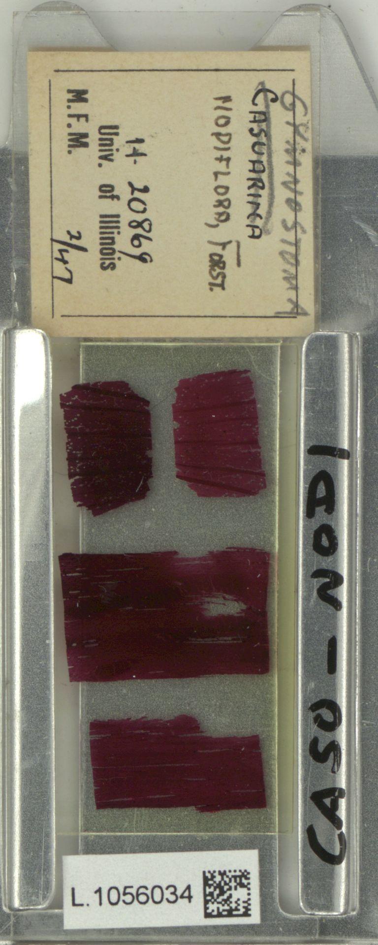 L.1056034   Gymnostoma nodiflorum (Thunb.) L.A.S.Johnson