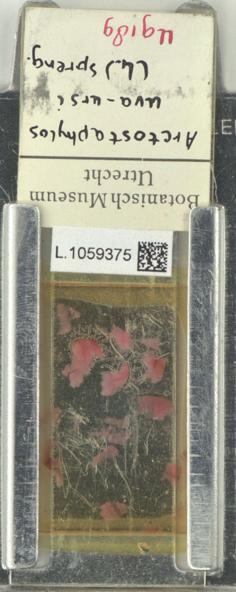 L.1059375 | Arctostaphylos uva-ursi (L.) Spreng.