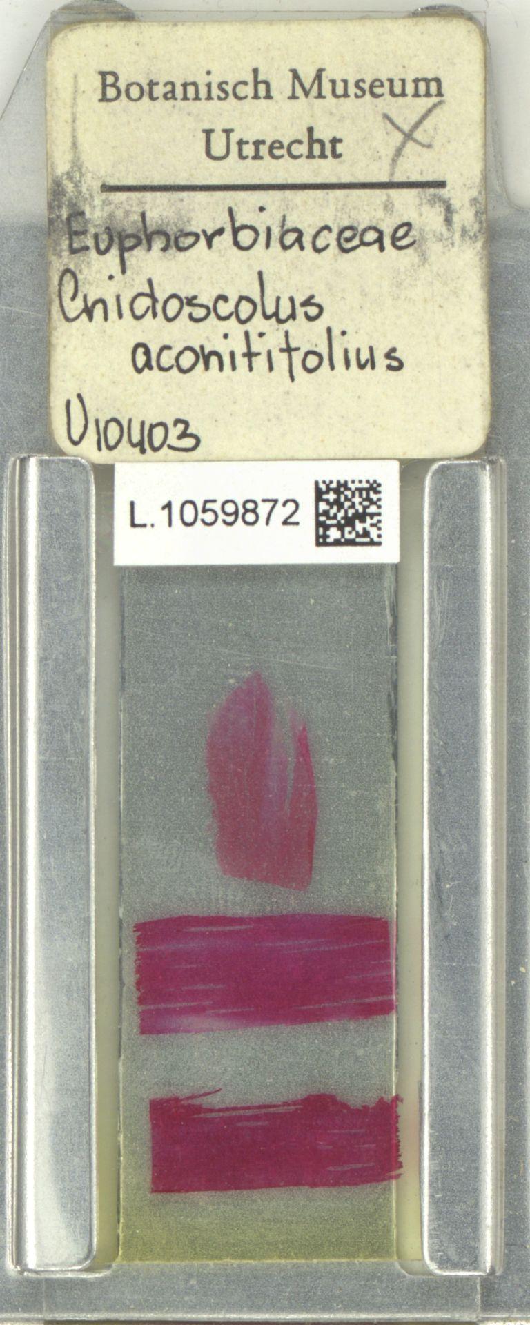 L.1059872 | Cnidoscolus aconitifolius (Mill.) I.M.Johnst.