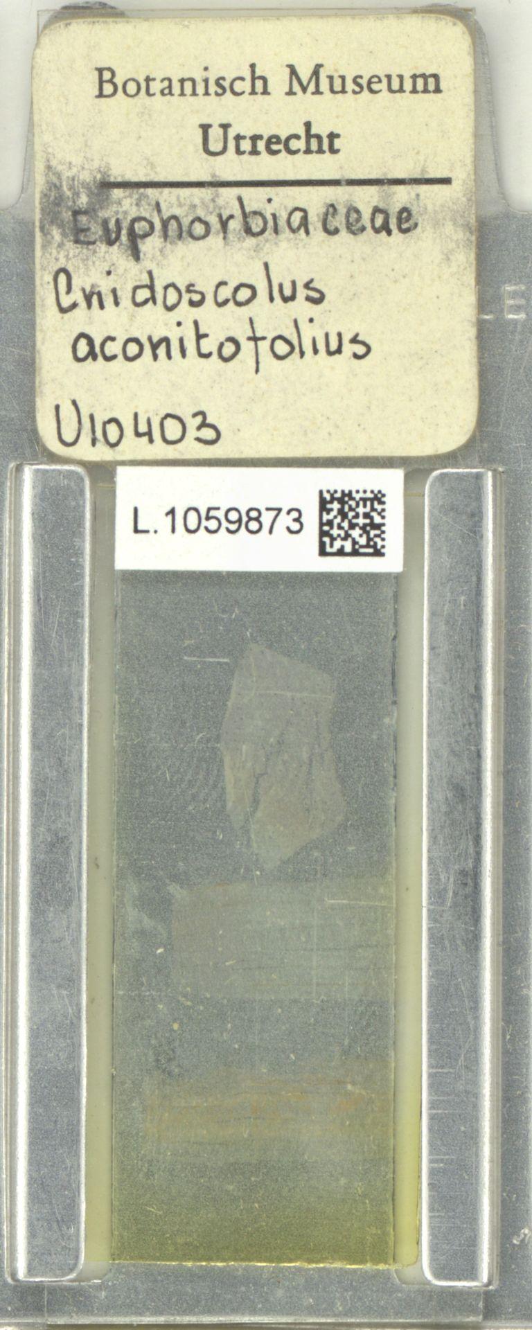 L.1059873 | Cnidoscolus aconitifolius (Mill.) I.M.Johnst.