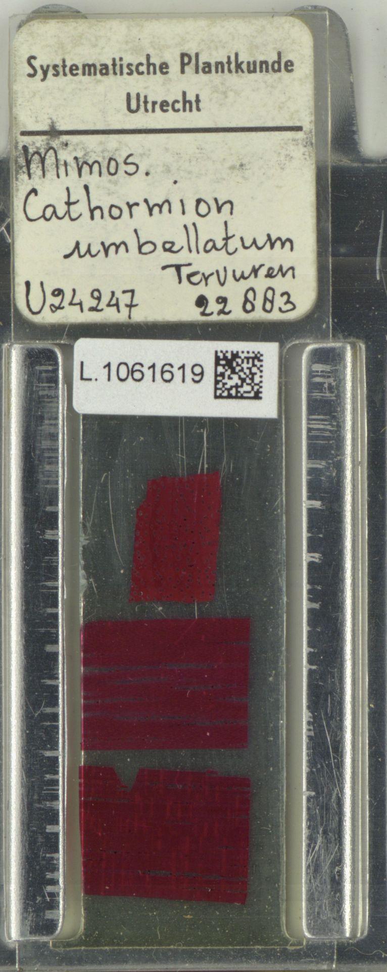 L.1061619 | Cathormion umbellatum (Vahl) Kosterm.