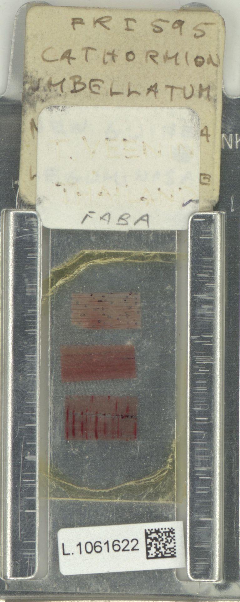 L.1061622 | Cathormion umbellatum (Vahl) Kosterm.