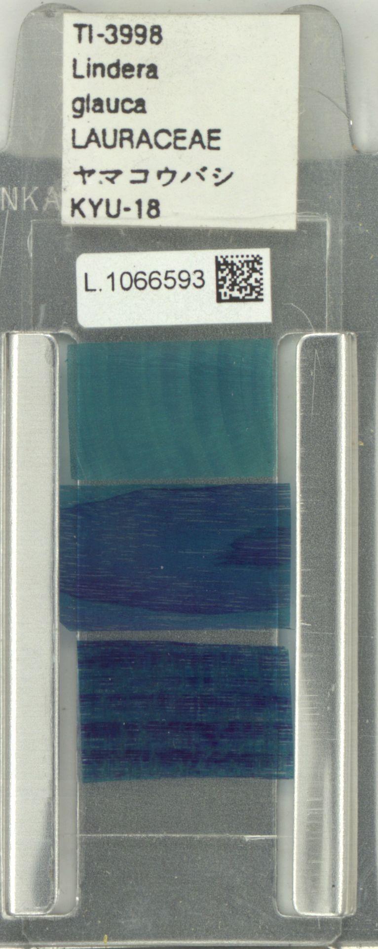 L.1066593   Lindera glauca Blume