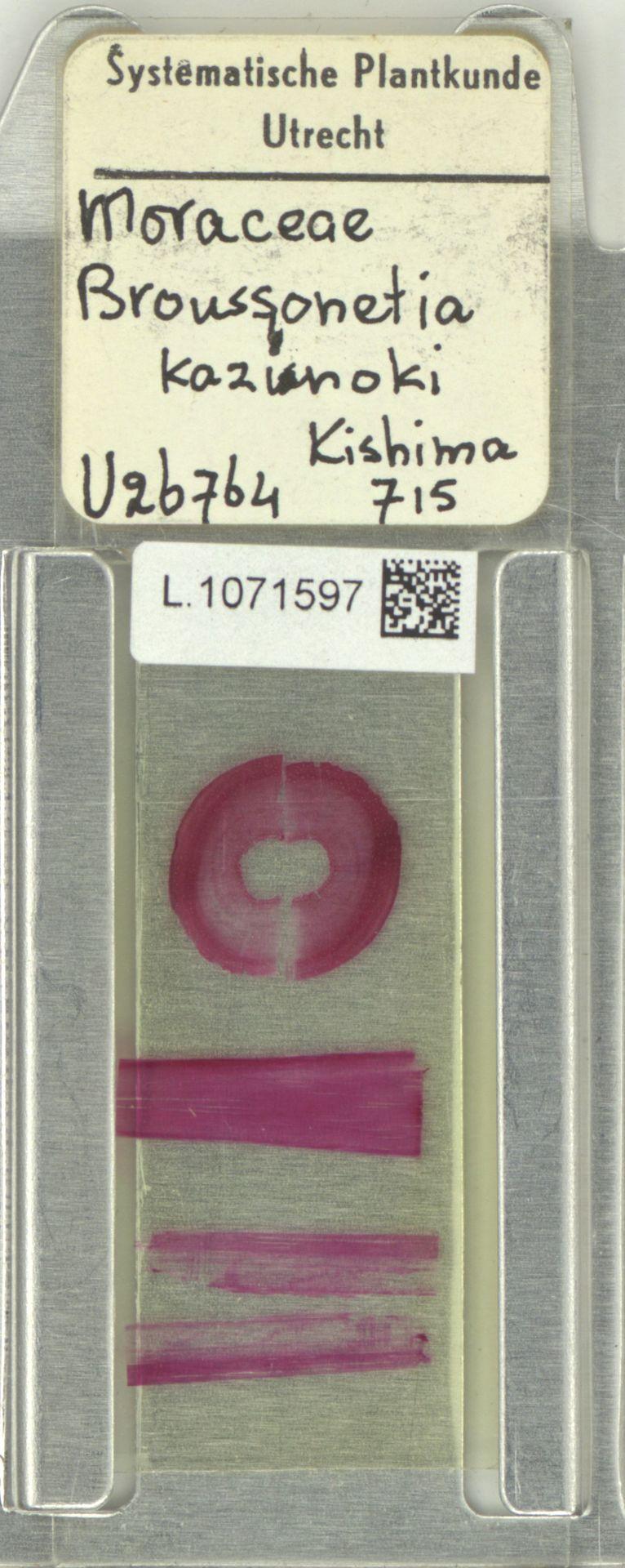 L.1071597 | Broussonetia kazinoki Siebold