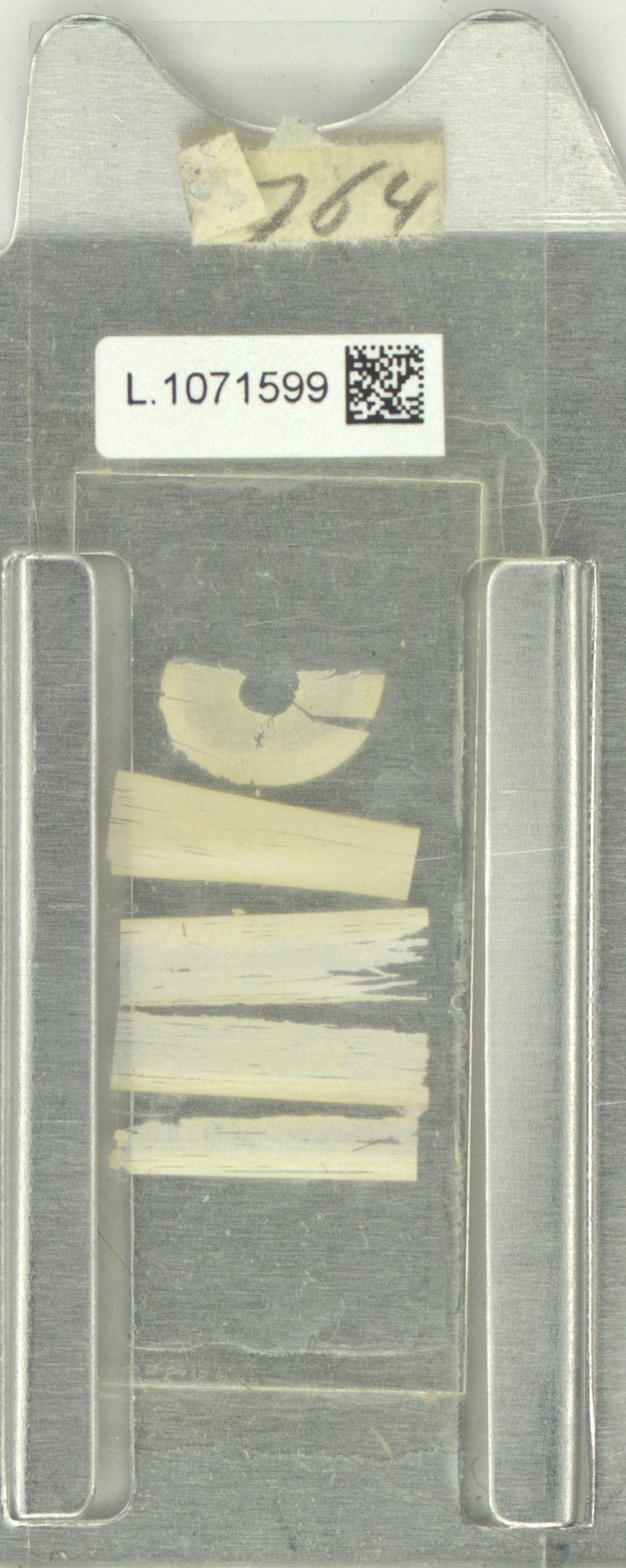 L.1071599 | Broussonetia kazinoki Siebold