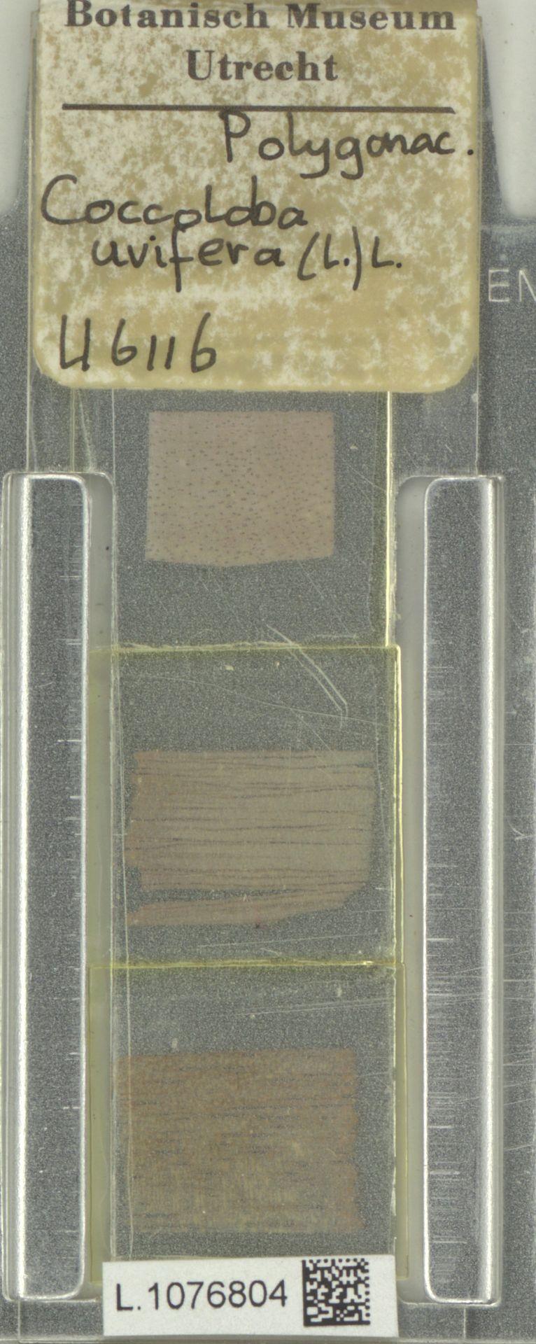 L.1076804 | Coccoloba uvifera (L.) L.