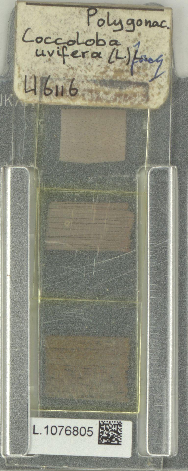 L.1076805 | Coccoloba uvifera (L.) L.